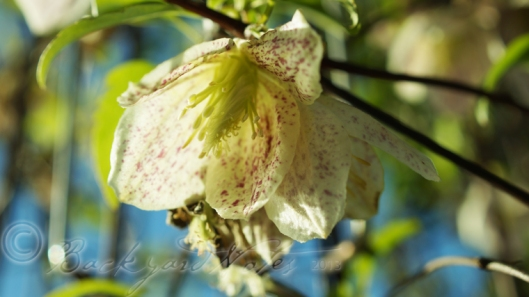 A lovely winter blooming clematis on a clear day