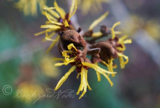 Witchhazel, Hamamelis x intermedia