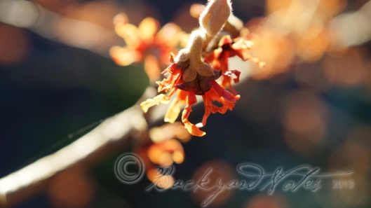 A red blooming hamamelis in the warm glow of a setting sun.