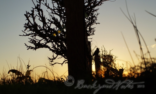 Silhouette of pear and apple trees at sunset. Hooray! The sun is now setting closer to 6:00 p.m.