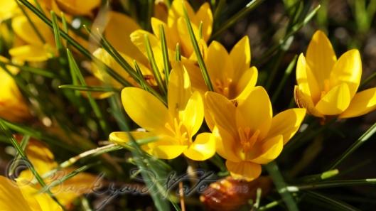 yellowcrocus