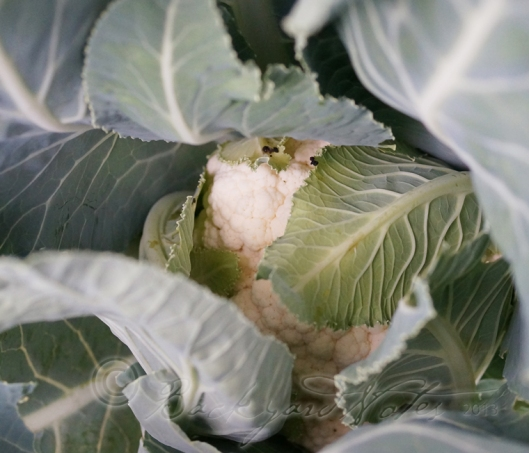 The rolling, cradle of leaves that surround and protect a cauliflower