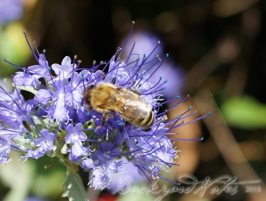 partaking of nectar from caryopteris 'Dark Knight'