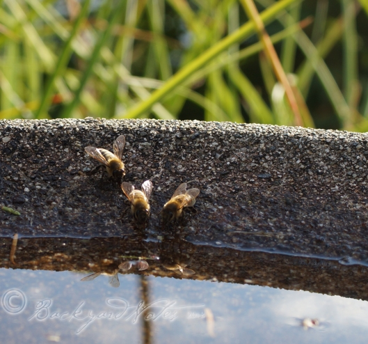 Bees drinking at the birdbath. We have a beekeeper in our neighborhood–hooray!