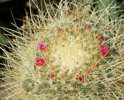 30 year old (maybe older) mammillaria pringlei.