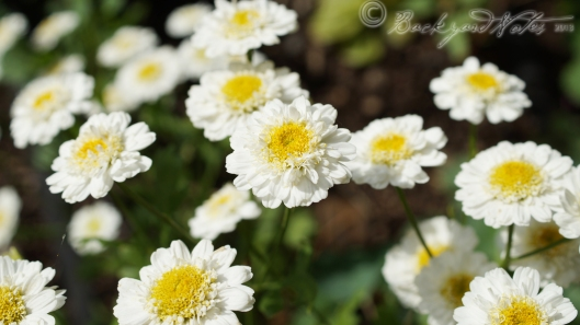 Matricaria. They look so cheerful and like sunny side-up eggs. They self-sow.