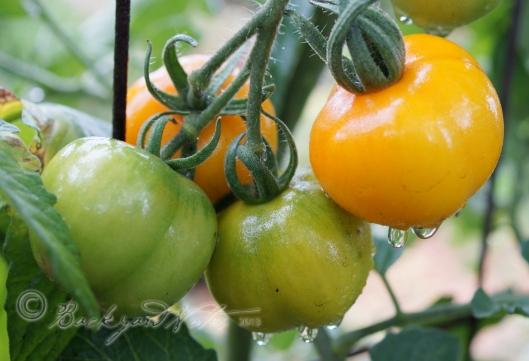 Jaune Flamée tomatoes in the rain