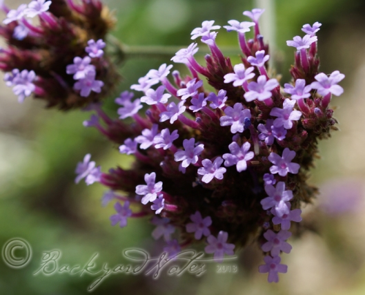 Many plants in my ornamental and vegetable gardens are volunteers, like this verbena bonariensis whose seeds came from compost. Volunteer flowers in the vegetable garden enliven the scenery and invite lots of pollinators and predators alike.
