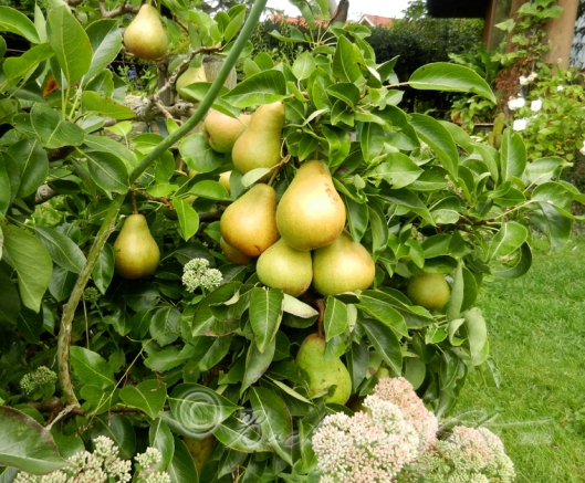 A cluster of Rescue pears