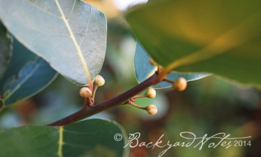 Bay laurel flower buds