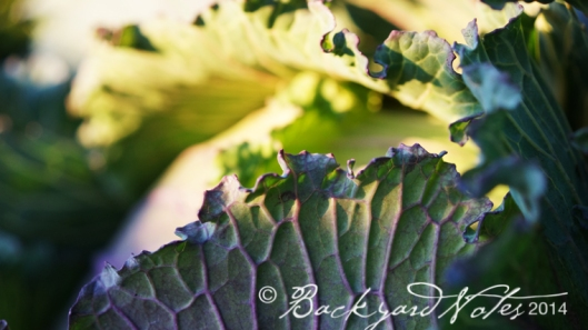Lovely, ruffled edges of January King cabbage