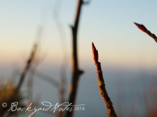 Ribes sanguineum bud