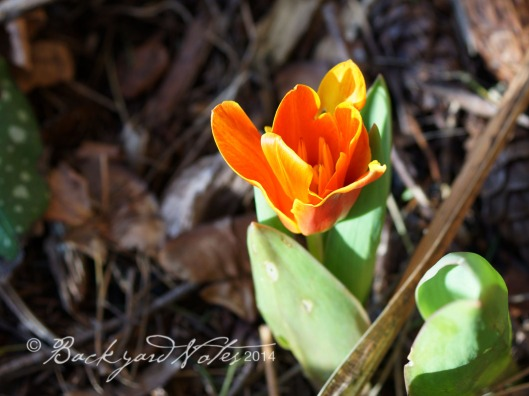 The first tulips of the season and the earliest of the ones planted around here.