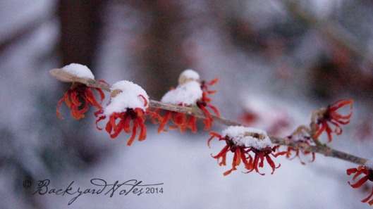 Hamamelis–Witch-hazel