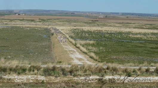 Sandhills on a dike at the edge of Crab Creek
