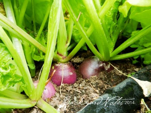 grwingradishes