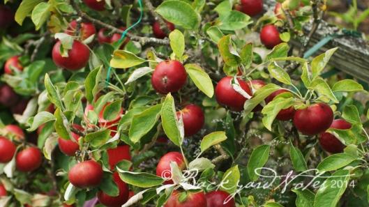 Akane apples.