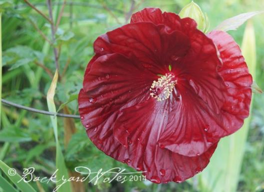 Hibiscus_Cranberry