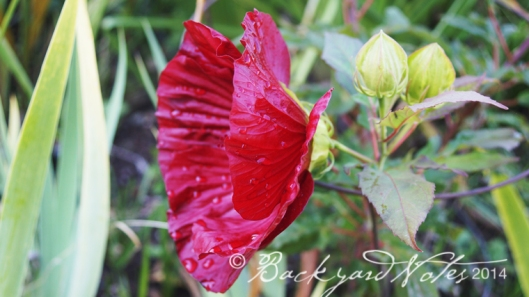 "Hibiscus hybrid ""Cranberry Crush"""