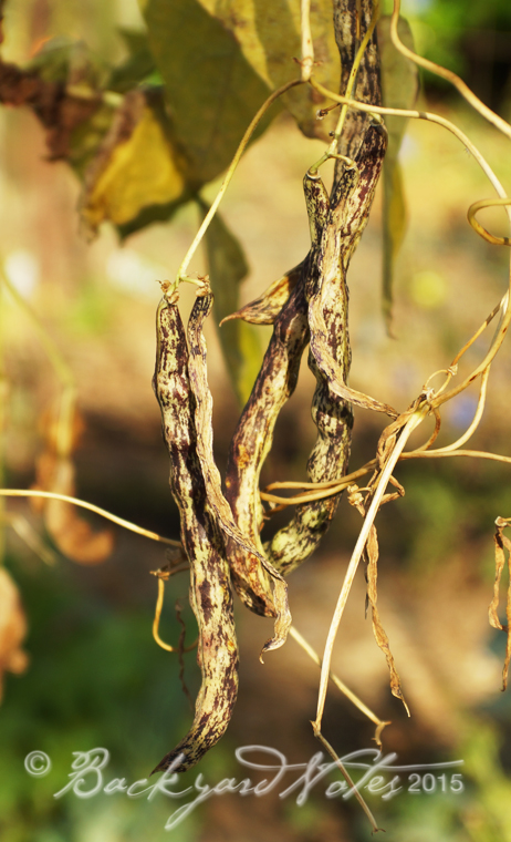 Rattlesnake beans drying on the vine