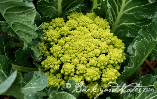 Romanesco cauliflower 'Veronica'