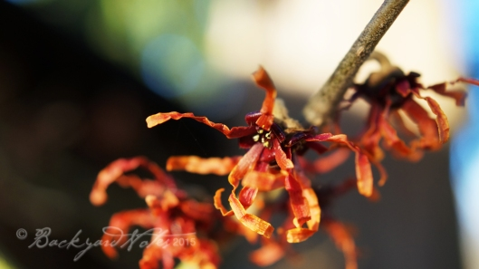 Witch hazel_1