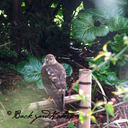 A Cooper's Hawk makes a visit.